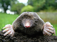 Close up of a mole looking toward the camera from its burrow